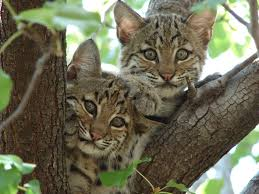 bobcats in tree nook